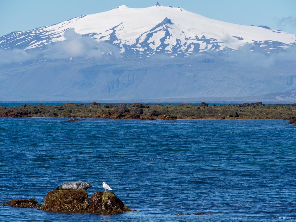 Tête à tête d'un phoque et d'une mouette, Islande